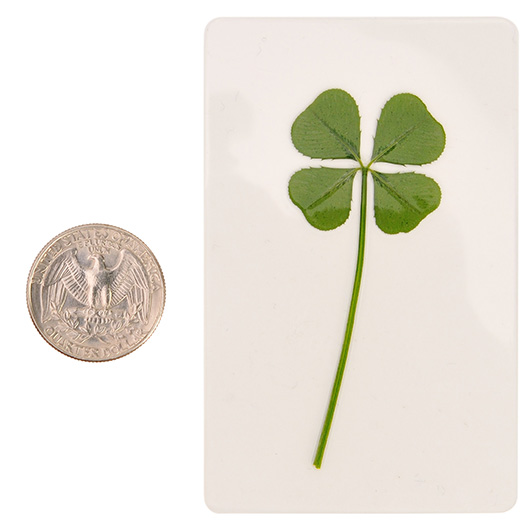 Real 4 Four Leaf Clover Irish Good Luck Charms Wedding Favors Gifts Coated L