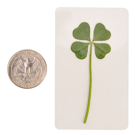 Premium Genuine Real 4 Four Leaf White Clover Irish Shamrock Good Luck Charms Lucky Amulet Fortune Coated M 1 Inch 2325 Cm