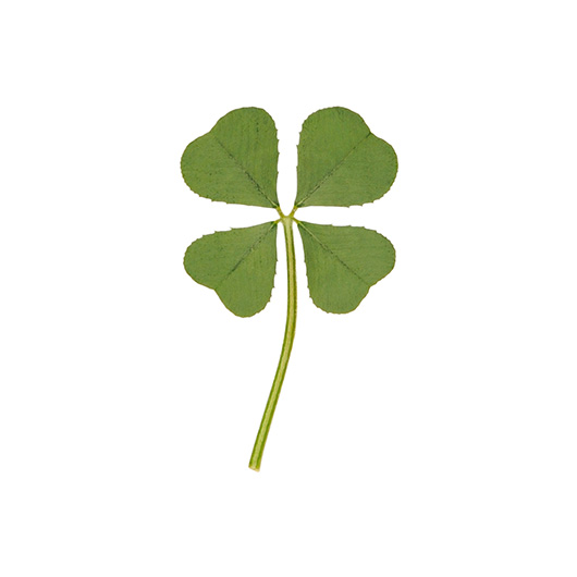 Premium Genuine Real 4 Four Leaf White Clover Irish Shamrock Good Luck Charms Lucky Amulet Fortune Dried Pressed Leaves M 1 2325cm