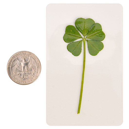 Premium Genuine Rare 5 Five Leaf White Clover Irish Shamrock Good Luck Charms Wedding Favors Gifts Coated L 1 4 Inch 273 Cm