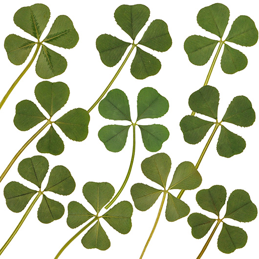 Lot Of 10 Pcs Genuine Real 4 Four Leaf White Clover Irish Shamrock Good Luck Charms