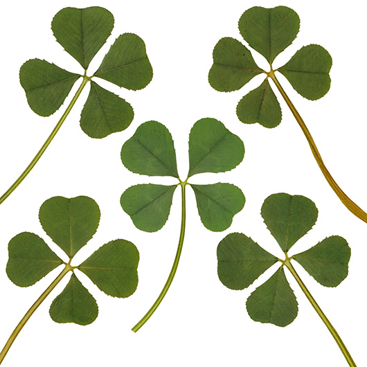 Lot Of 5 Pcs Genuine Real 4 Four Leaf White Clover Irish Shamrock Good Luck Charms Lucky Amulet Fortune Dry Pressed Leaves L 1 273 Cm